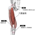 【筋トレ】女性は特に重視してほしい。キレイな脚づくりに欠かせない大腿直筋と中間広筋を鍛える!